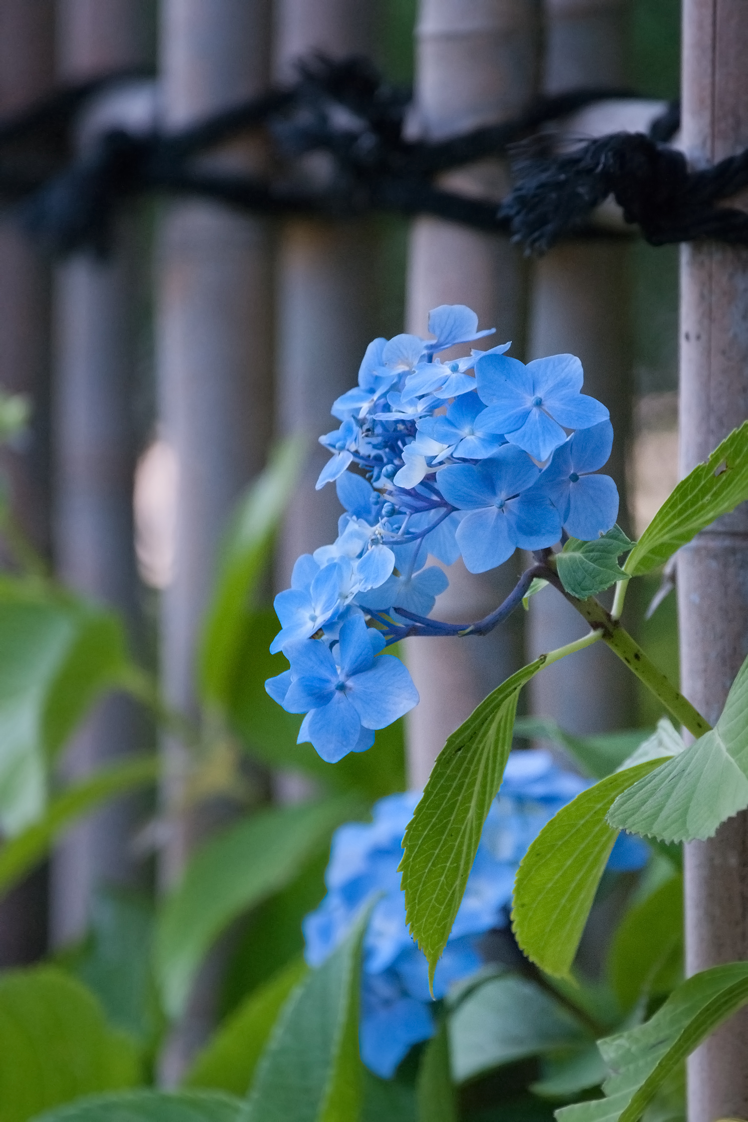 香雪園のアジサイ(紫陽花)