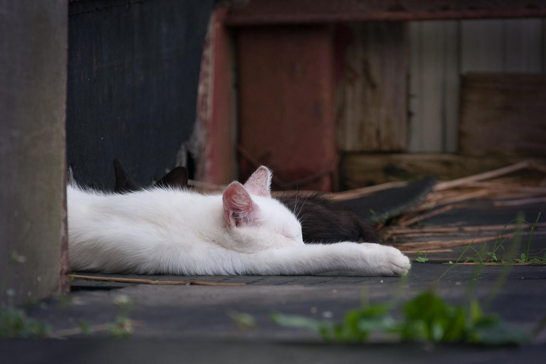 お昼寝している白猫