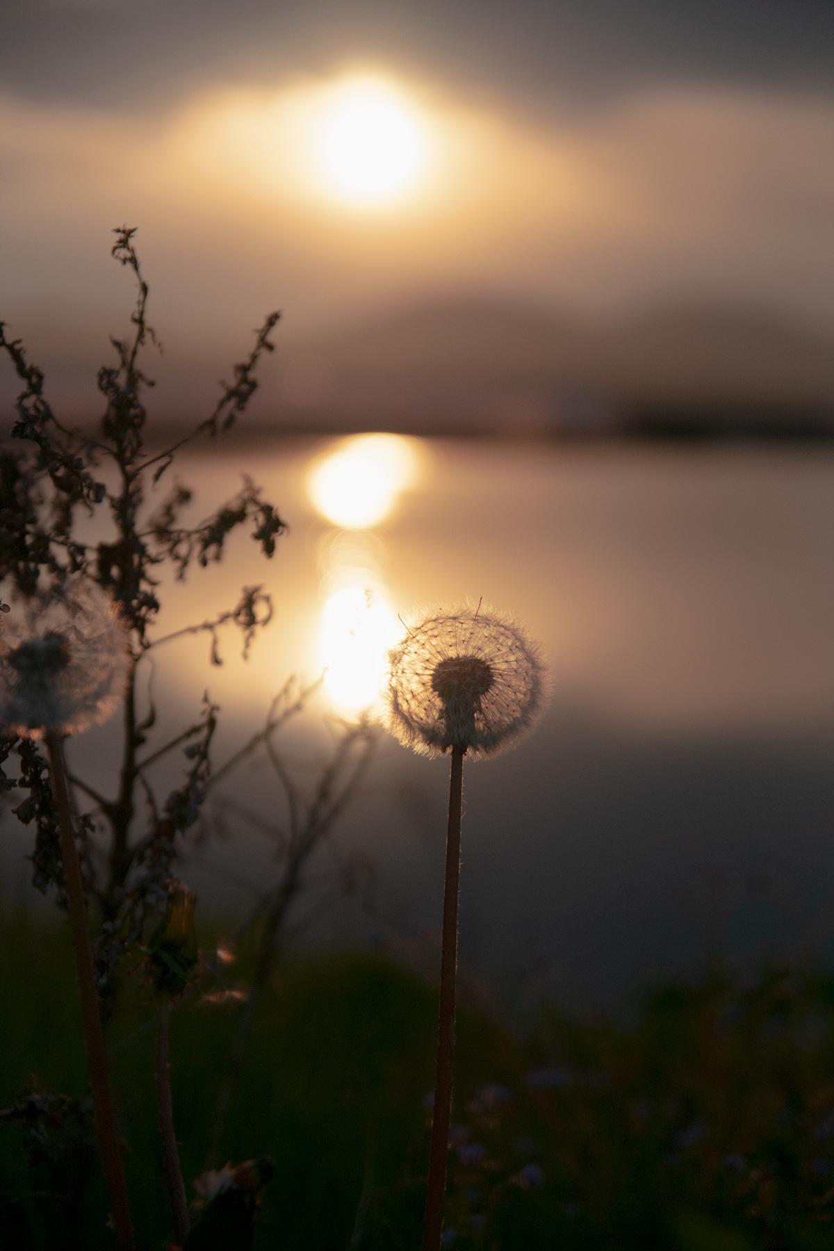 夕日と蒲公英
